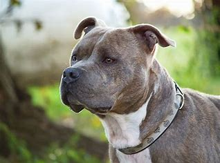 Helpful Information About Pitbull Puppies - Pets Care Tips